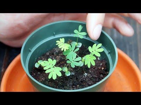 hogyan lehet megszabadulni a parazitáktól egy virágcserépben