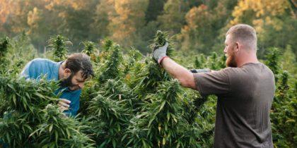 marihuána és paraziták