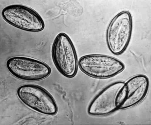 Pinworms csecsemők kezelésében