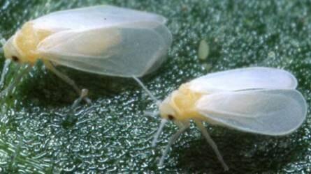 apró rovar parazita