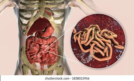 Ascaris rögzítő szervek