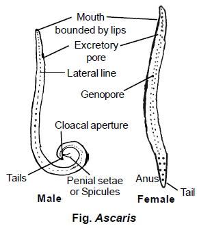 Kerekféreg alakul ki Kezelés decaris férgekkel