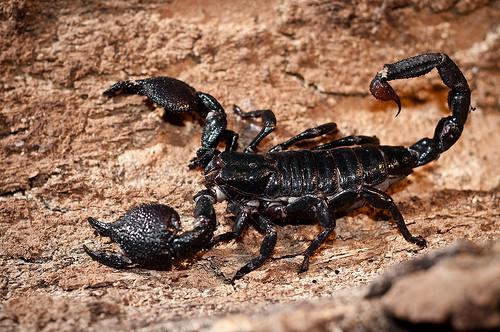 A legveszélyesebb paraziták A sertés és a fonálféreg