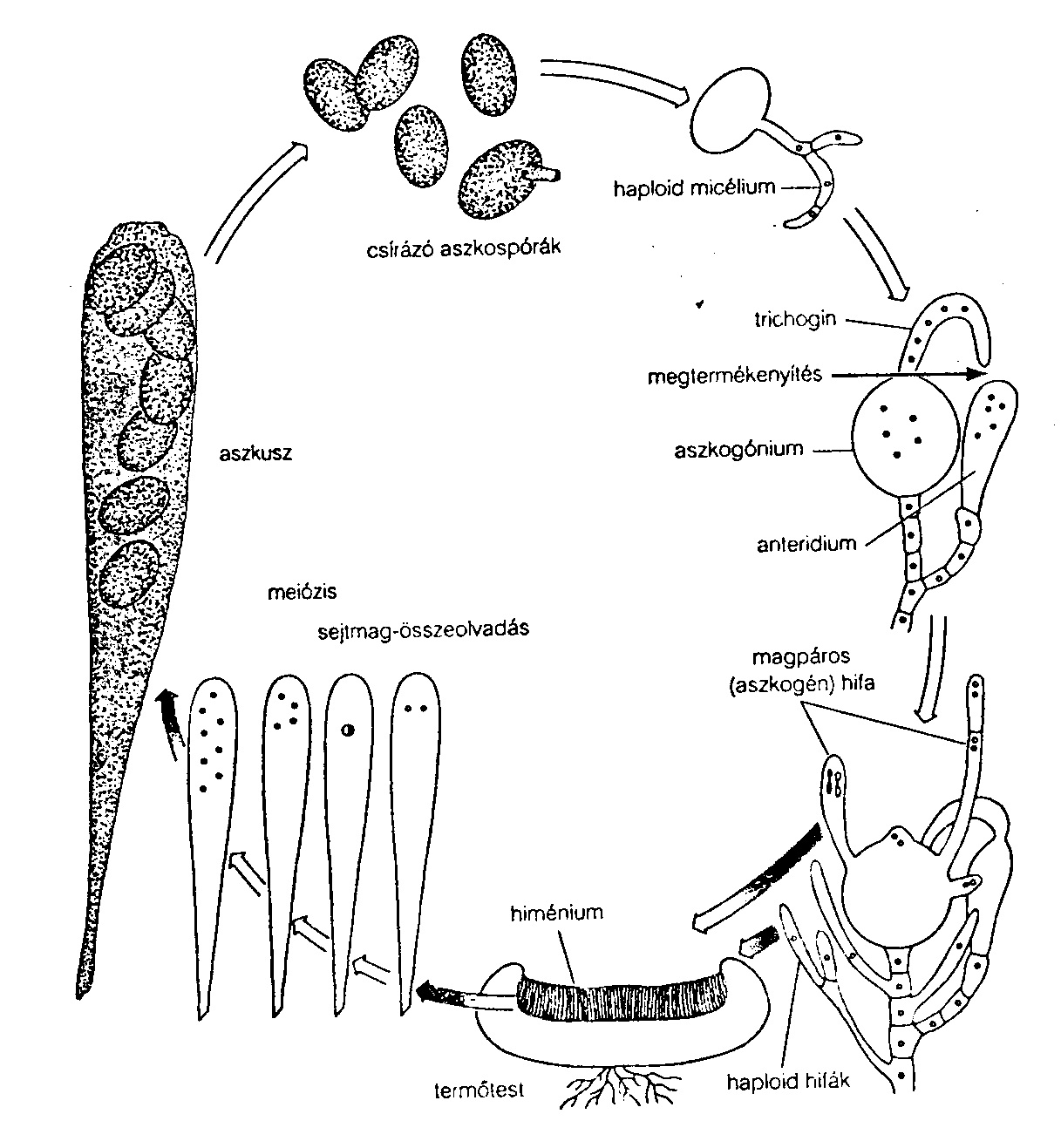 az emberi gombaféreg szaporodása és fejlődése