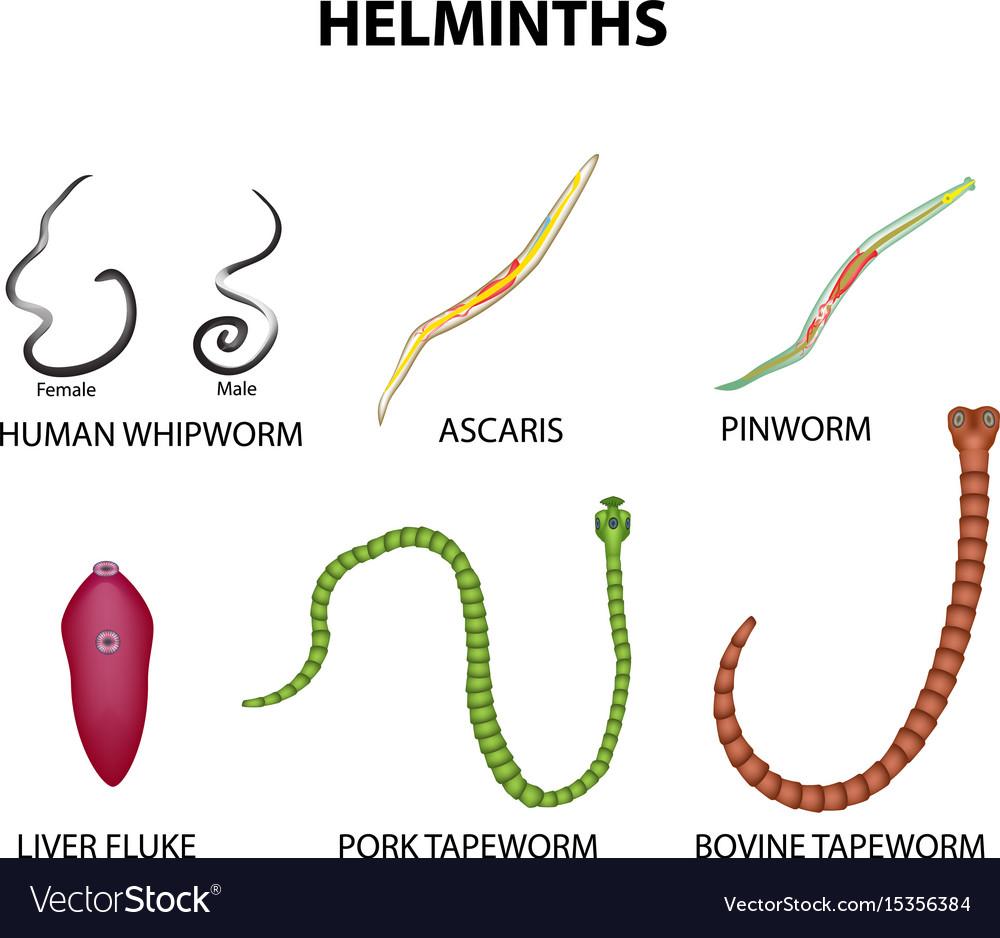 A Magyarországon előforduló féregfertőzések - Ascaris helminthiasis
