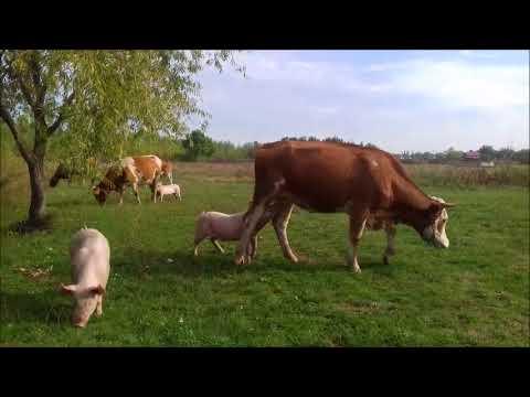a szarvasmarha galandférgének következményei parazita károsodás