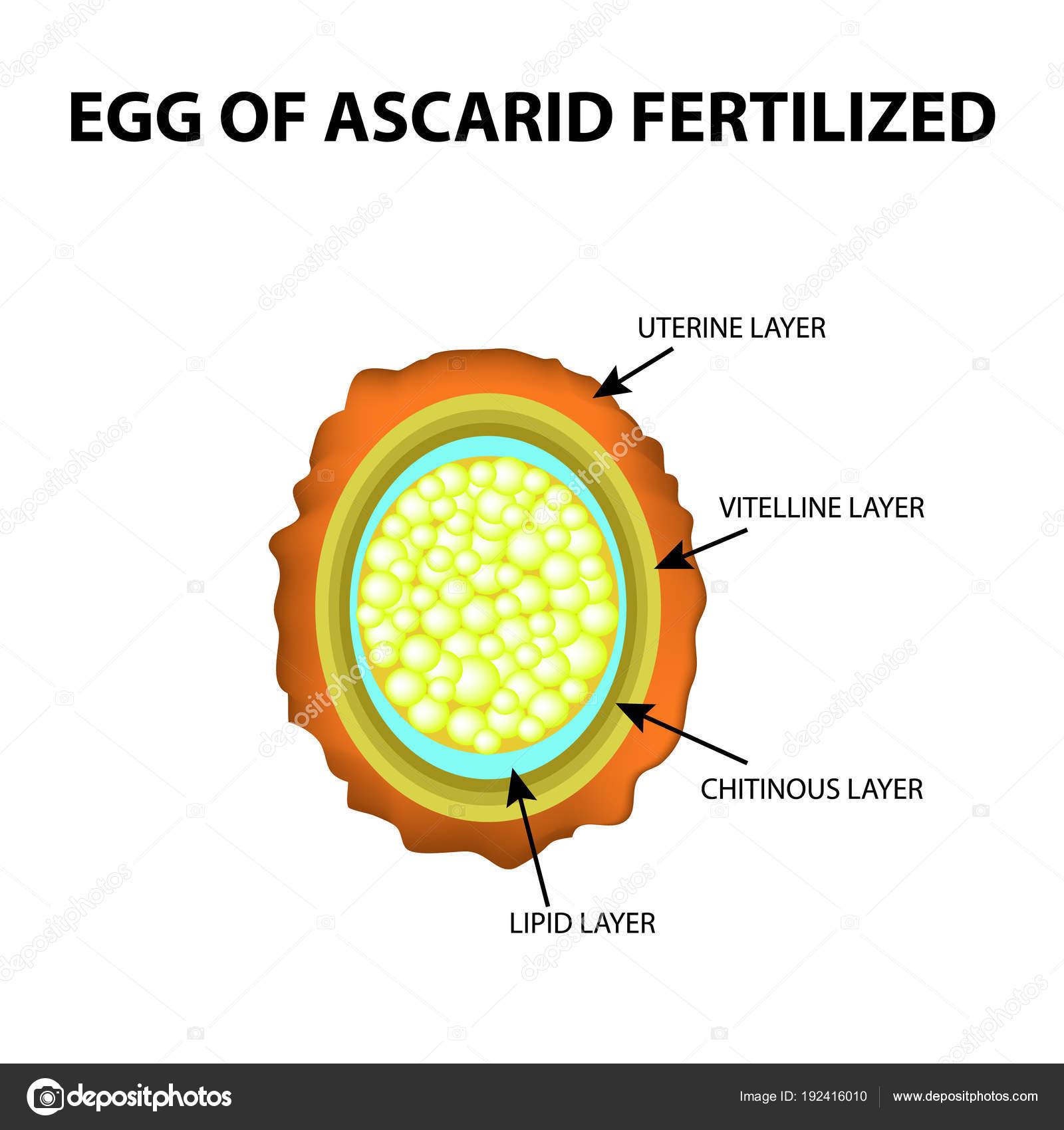 Pinworm vagy ascaris, Ascaris tojás a székletben