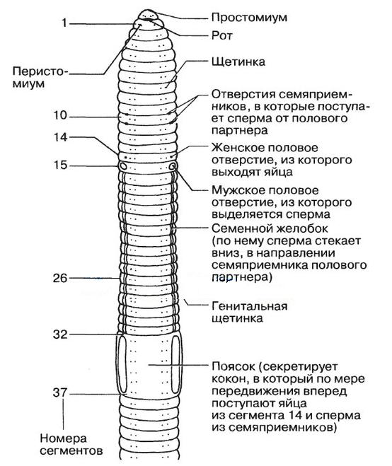 az emberi gombaféreg szaporodása és fejlődése)