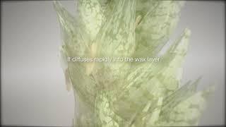 Tifulás vetésrothadás (Typhula incarnata)