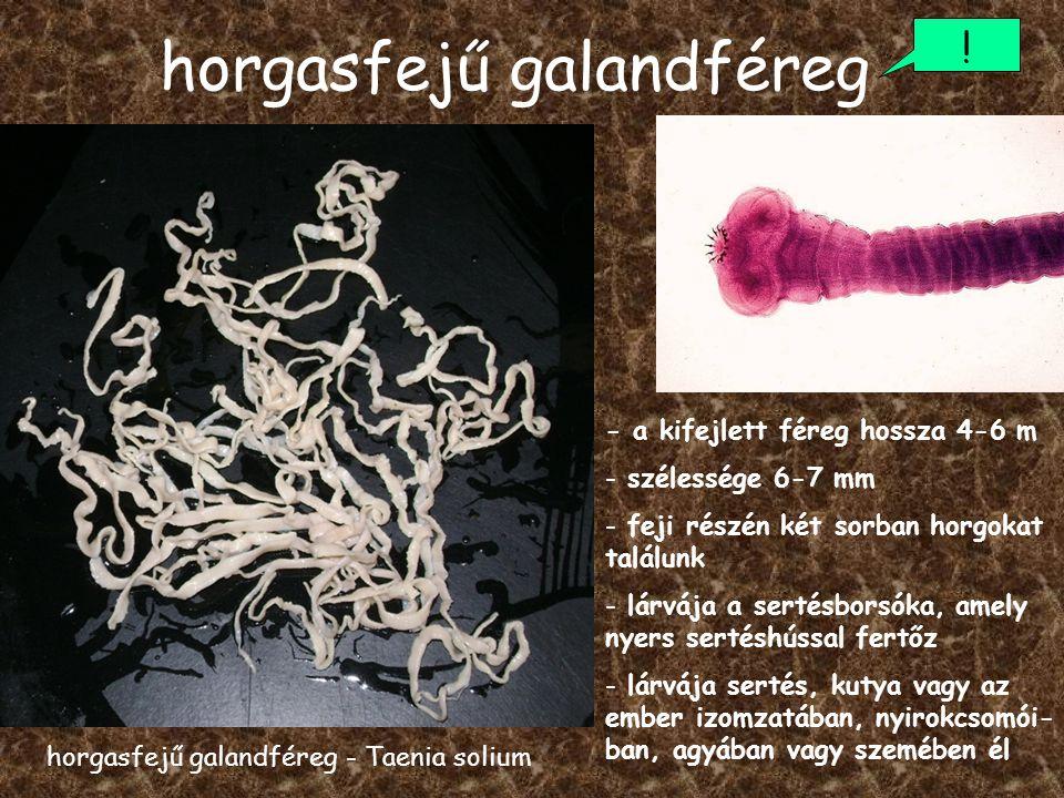 galandféreg féreg hossza)