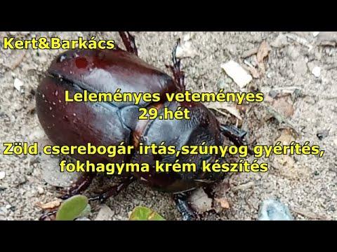 paraziták bogár gyógyszer ember