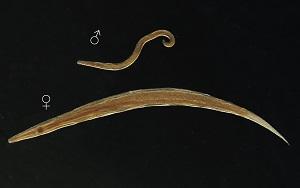 pinworms vagy enterobiasis