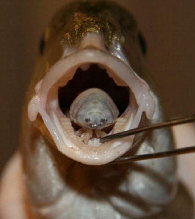 paraziták a nyelv alatt