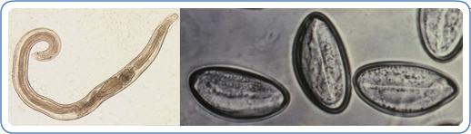 Ascaris és pinworm tojások, Ascaris tojás a székletben, Milyen az ascaris tojás a székletben?