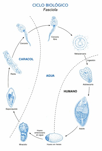 Fascioliasis fejlődési ciklus