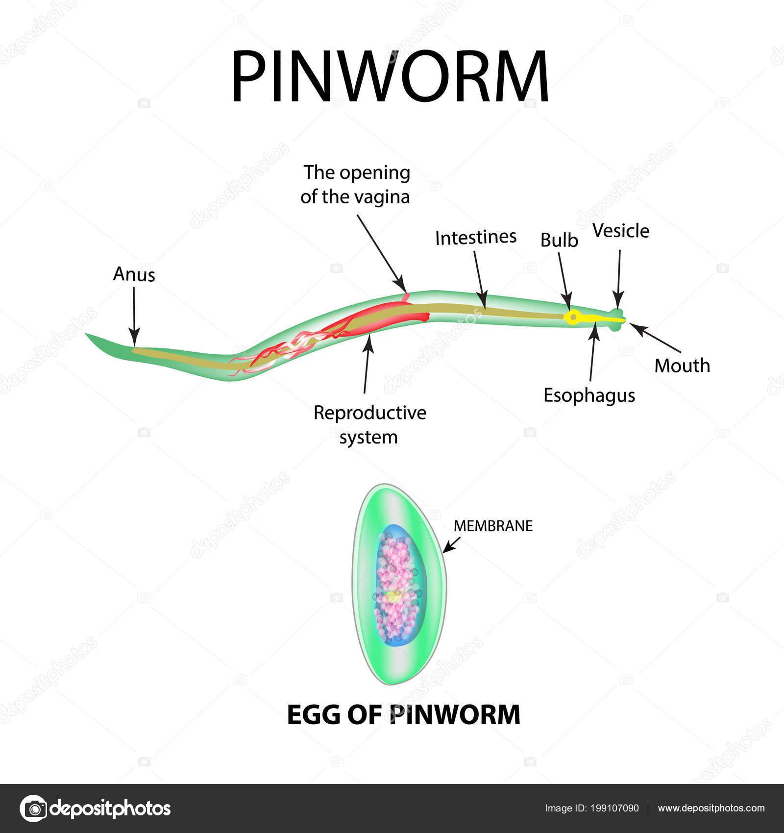 pinworm tojások a környezetben élnek