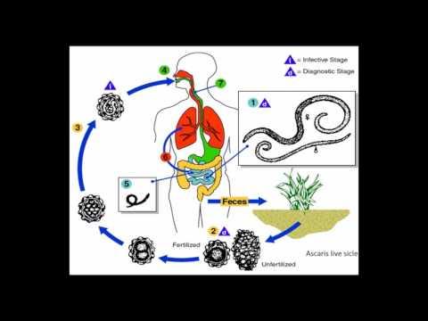 ascariasis helminth fejlődési ciklus