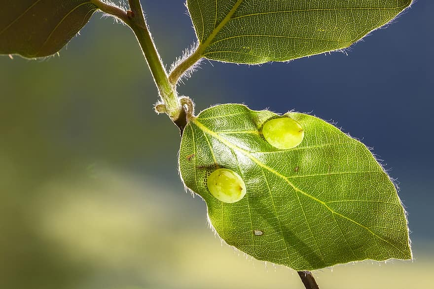 a pitypang parazita)