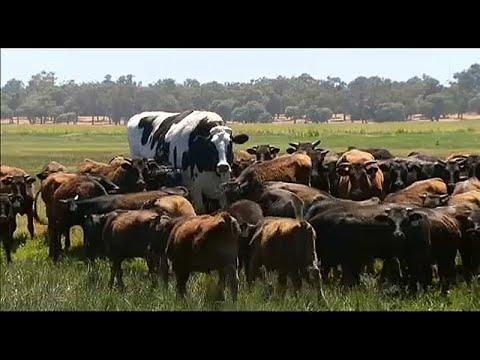 A szarvasmarha galandférgének károsodása.