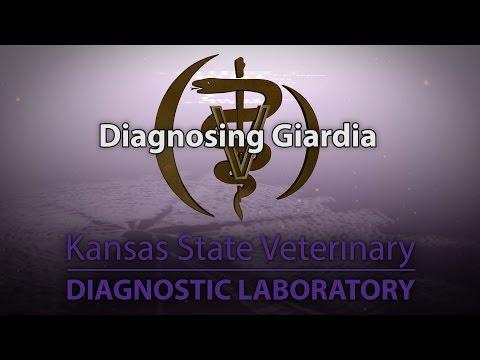 Opisthorchiasis és giardiasis kezelés következményei, Giardiasis ascariasis opisthorchiasis
