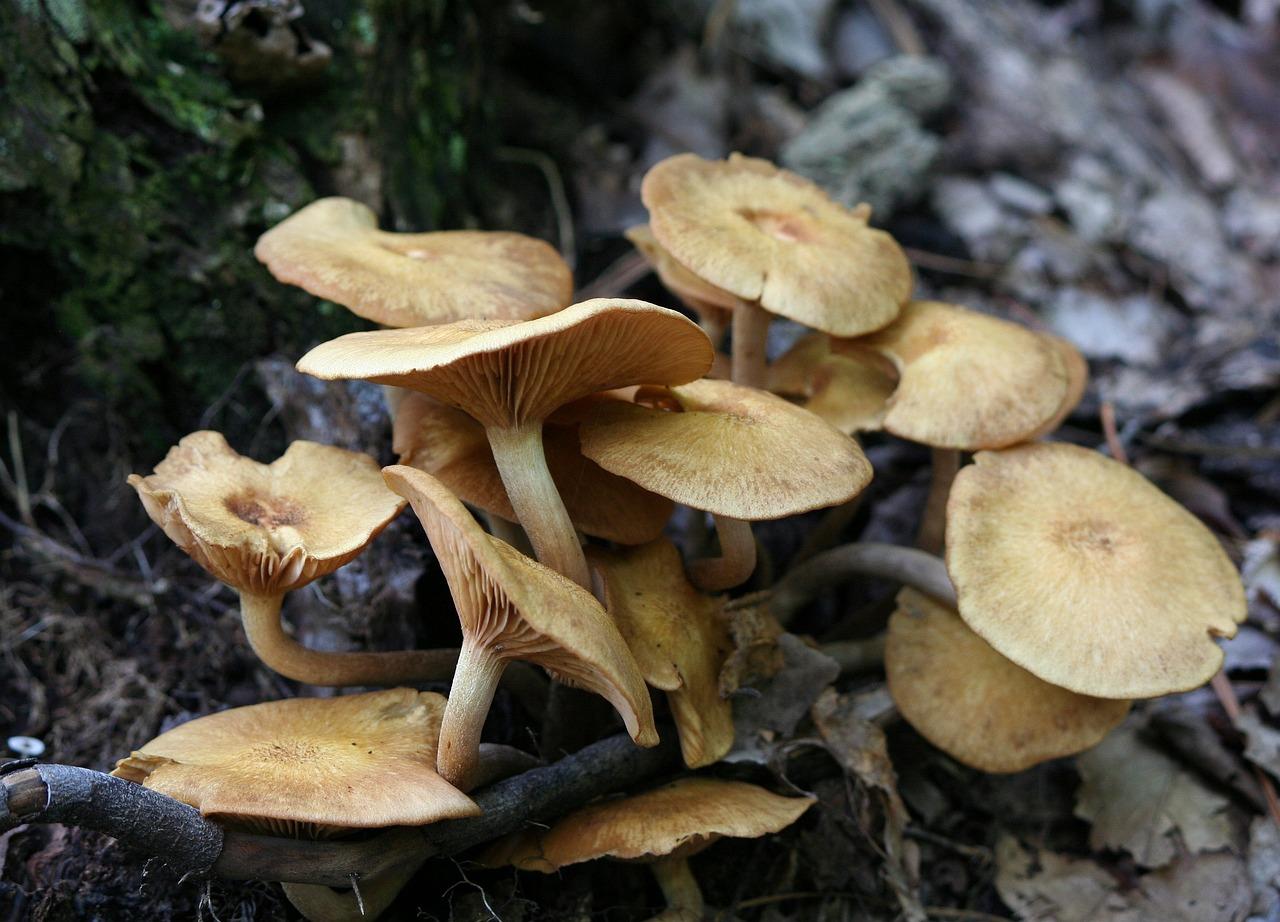 mézgomba őszi parazita