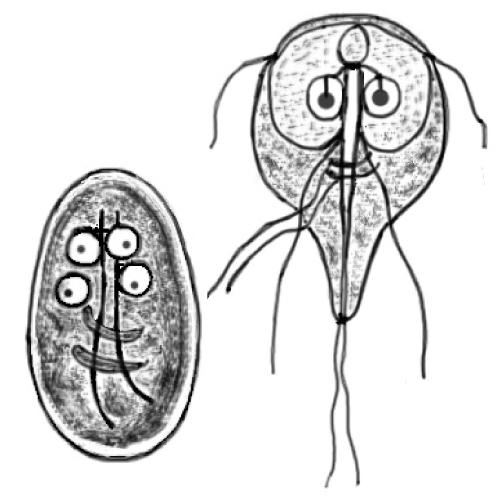 A gasztroenterológus a parazitákat kezeli. Giardiasis paraziták kezelése