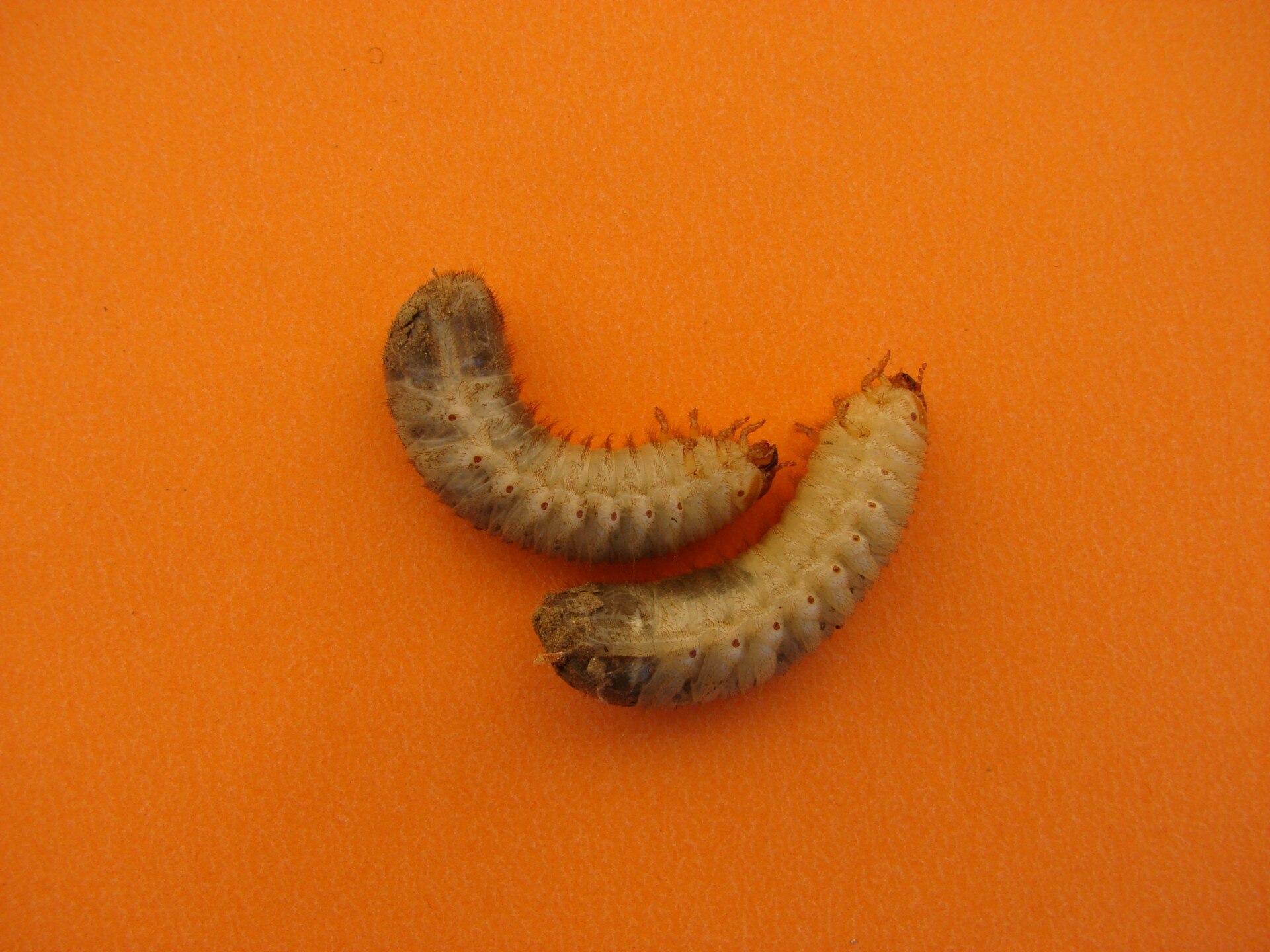 Tüdőgyulladás, A paraziták kezelésének szakaszai