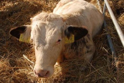 a szarvasmarha galandféreg étele megszabadulni a rossz lehelet kezelésétől