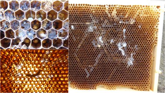 pollen paraziták