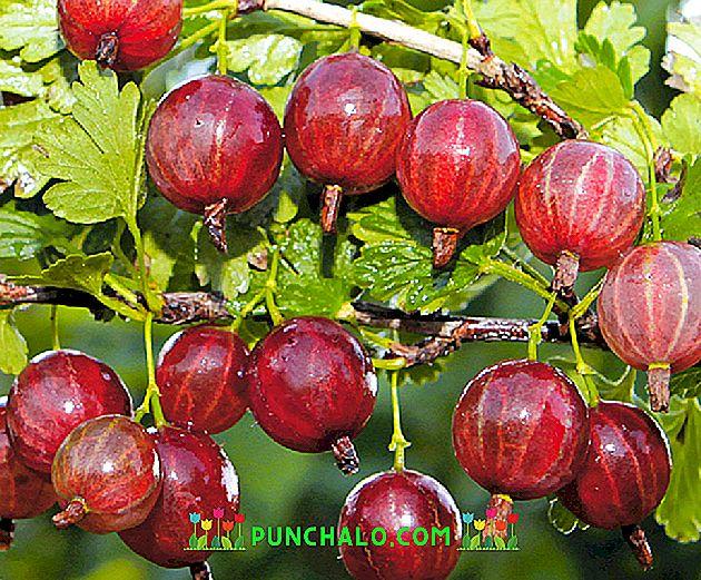 A törzses köszméte (egres) telepítése és metszése - Bogyósok - Gyümölcs