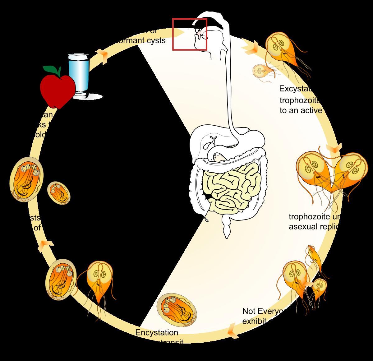 a giardiasis invazív szakasza az