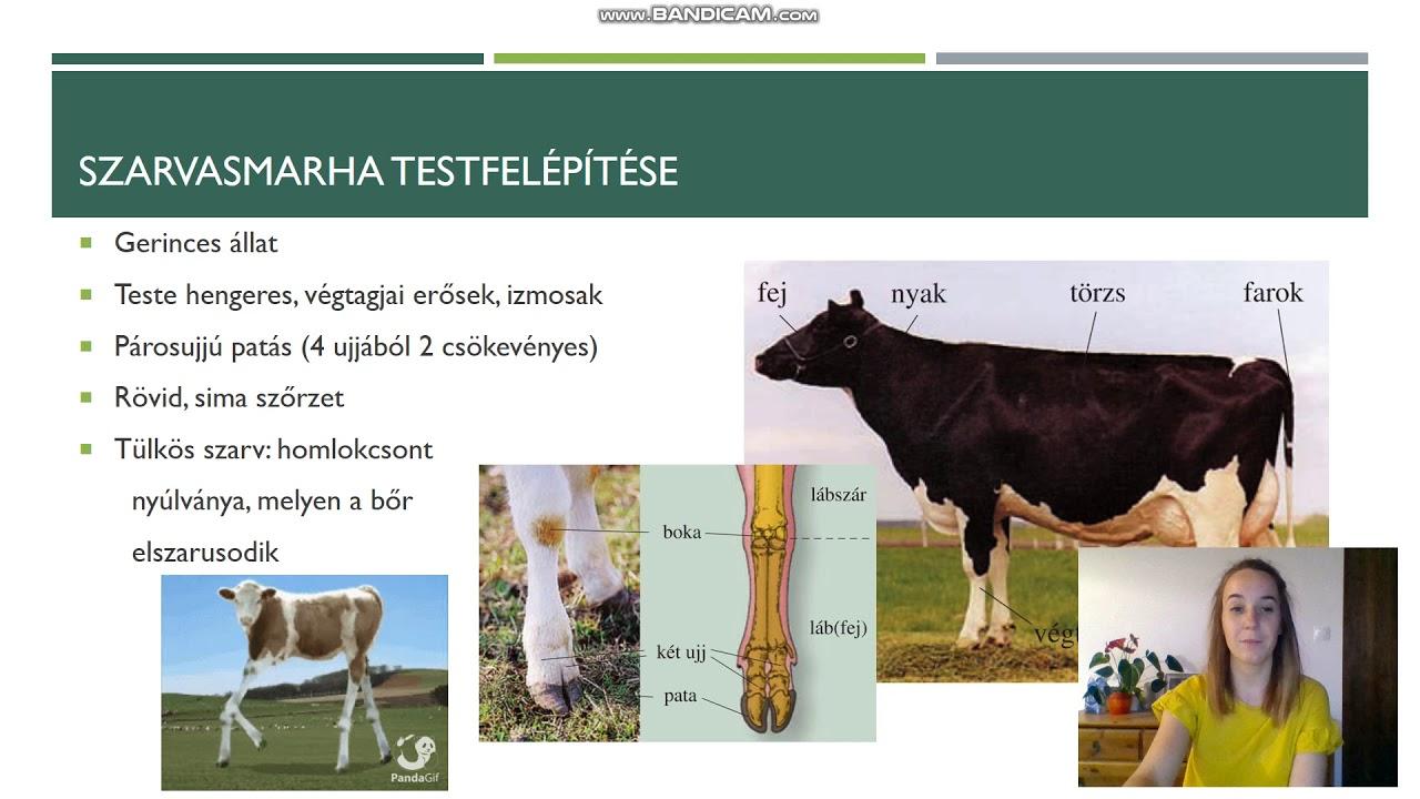 szarvasmarha galandféreg megelőzése)