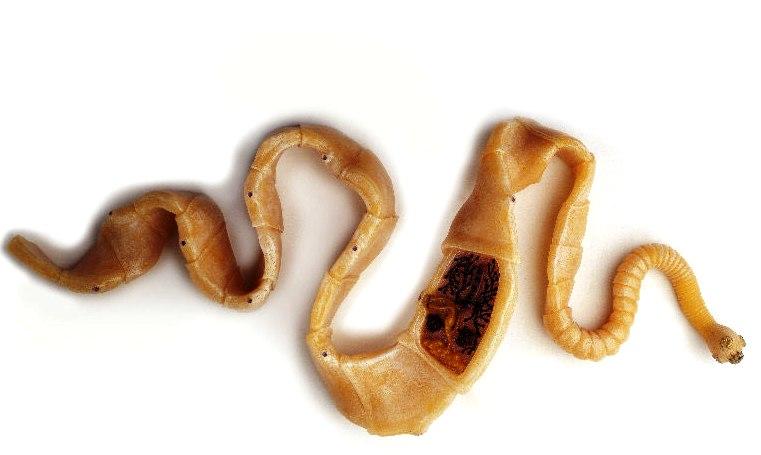 az úgynevezett galandféreg paraziták a diszkuson