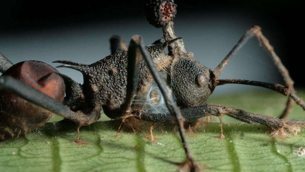 paraziták a darázson