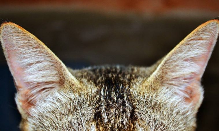 Sündisznók helminták - Róka helminták