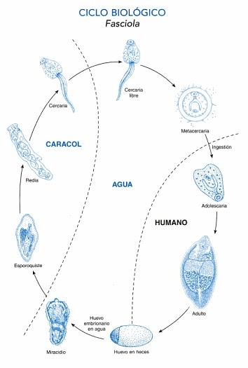 Fascioliasis ciklus - Mi a Fascioliasis és hogyan kell azonosítani
