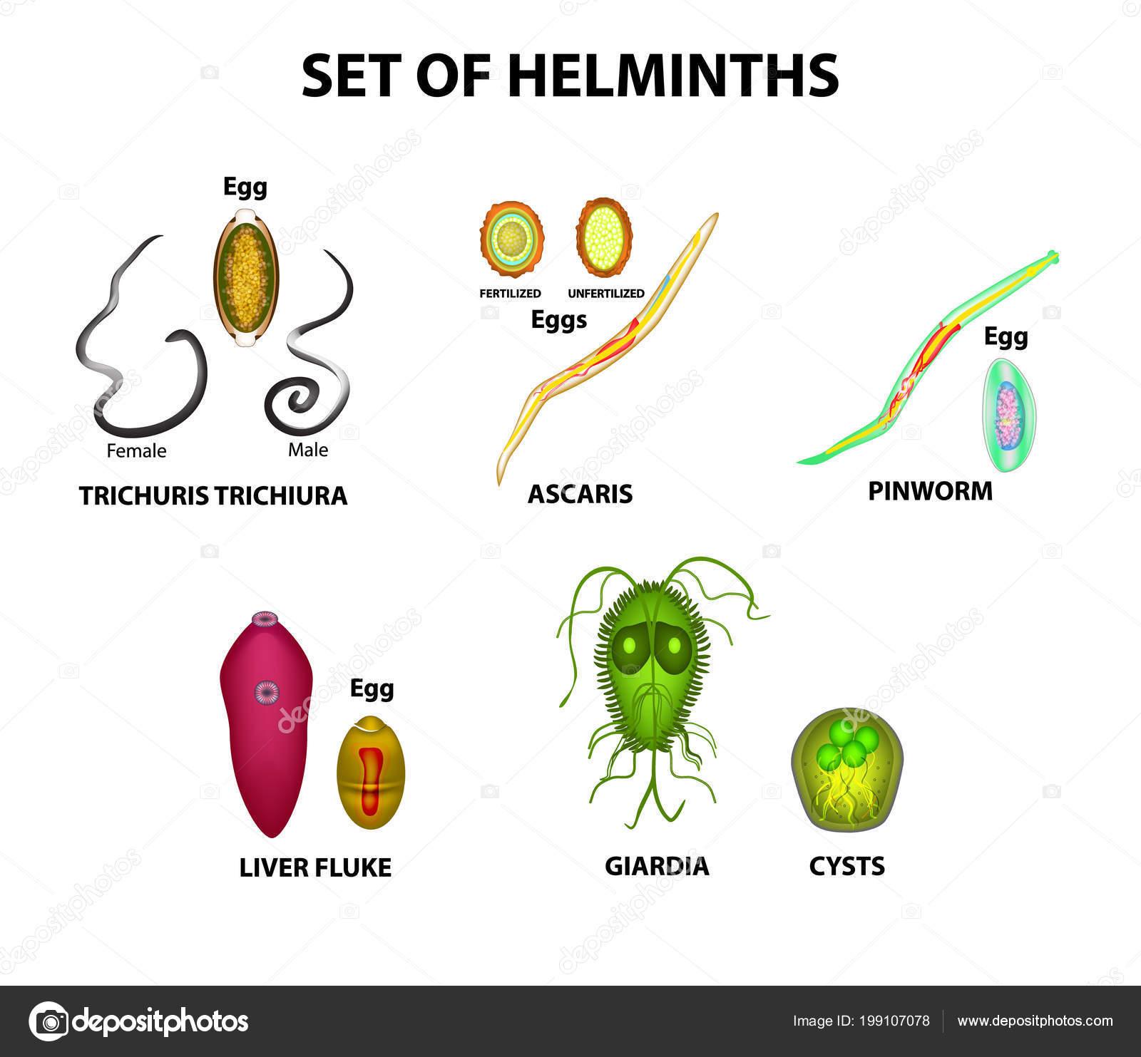 petesejtek férgek vagy pinwormok