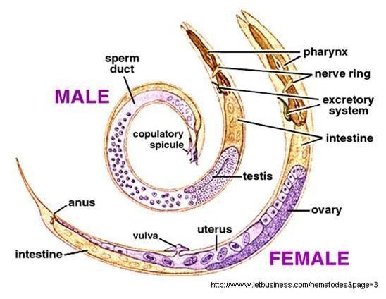 pinworm és ascaris)