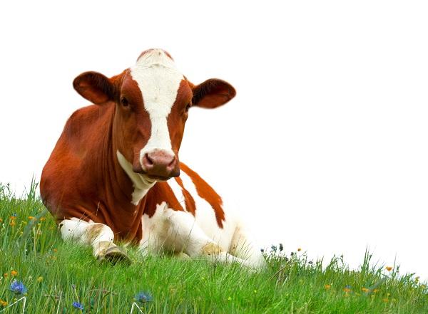 szarvasmarha galandféreg elleni készítmények a belek hiánya a szarvasmarha galandférgében lehetséges