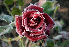 Számolj le a rózsát megtámadó levéltetvekkel - Növényvédelem - Növénydoktor