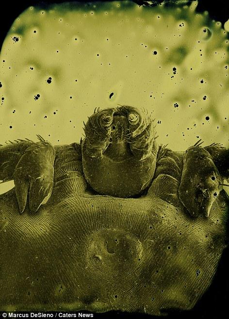 pióca paraziták