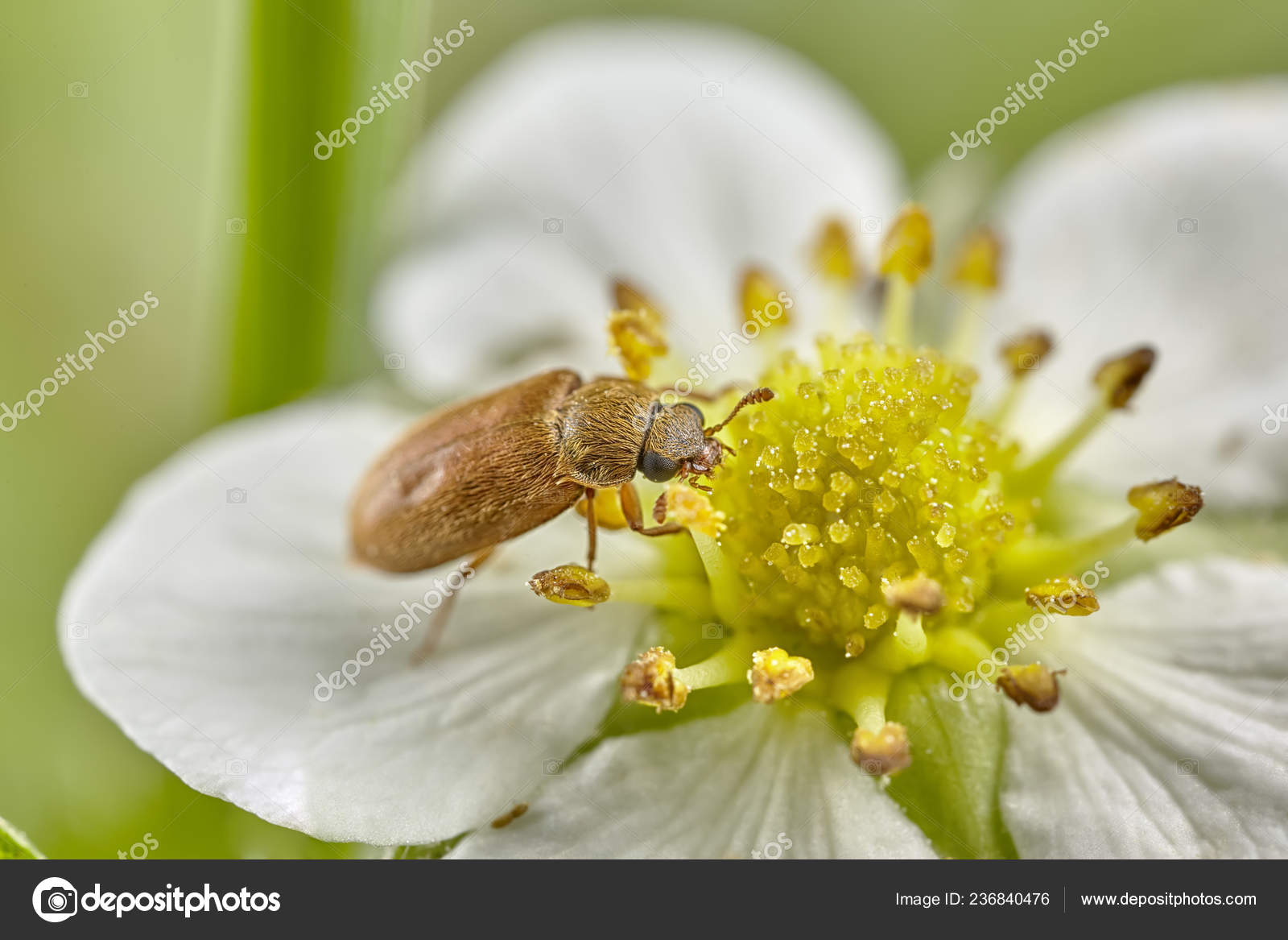 pollen paraziták)