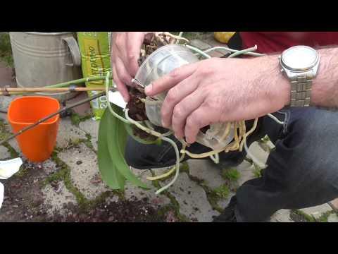 kalla liliom parazitákkal a székletben élő paraziták fehérek