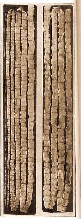 galandféreg féreg hossza