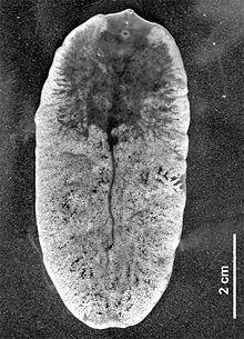 fascioliasis morfológia