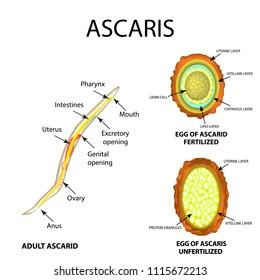 Az Ascaris érintett szerveket)