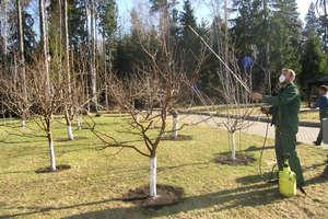 Cseresznyefa permetezése