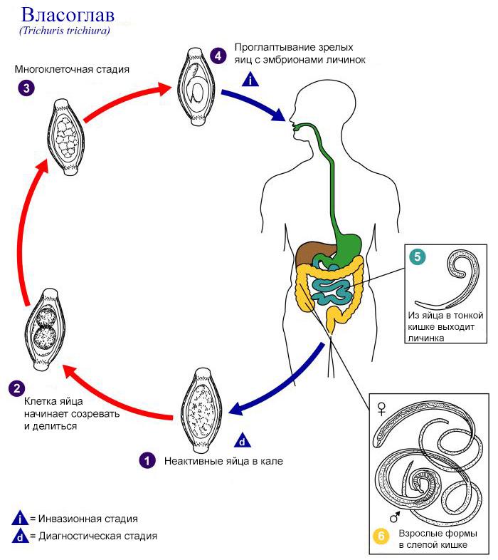paraziták a nőstényen