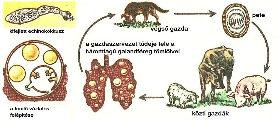 típusú emberi parazita férgek)