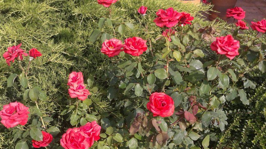levéltetvek és paraziták rózsa kezelése)